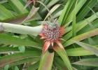 Фото туриста. Новорожденный ананасик