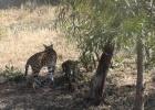 Фото туриста. зоопарк Фригия-леопард и маленькие леопардики
