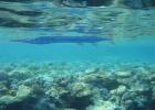 Фото туриста. Рыба флейта
