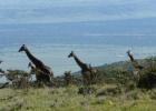 Фото туриста. Жирафы в Танзании по дороге из Нгоро