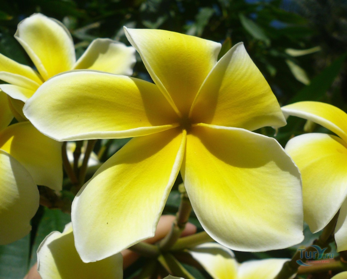 стопы растения тайланда фото и названия что интересуют