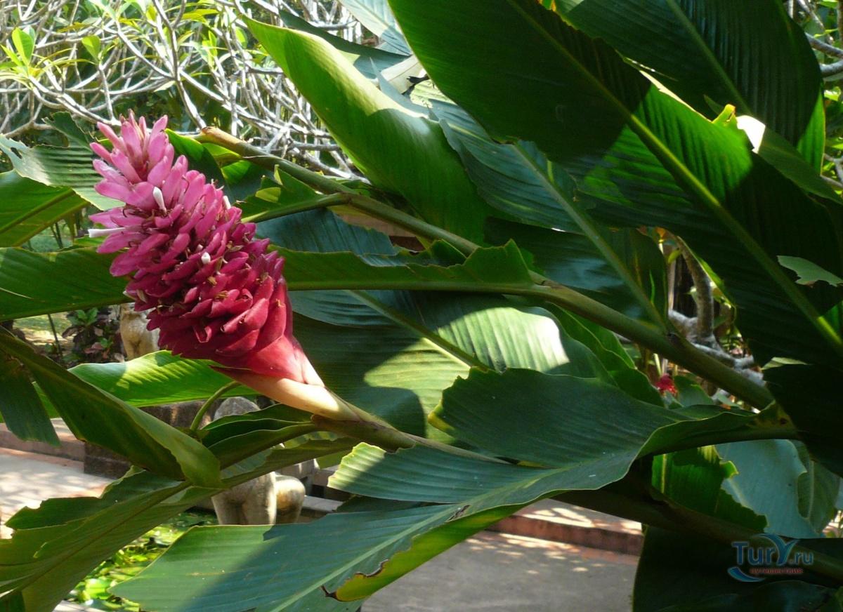 растения тайланда фото и названия фотохостинг