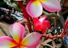 Фото туриста. Эти цветы - визитная карточка Тая))