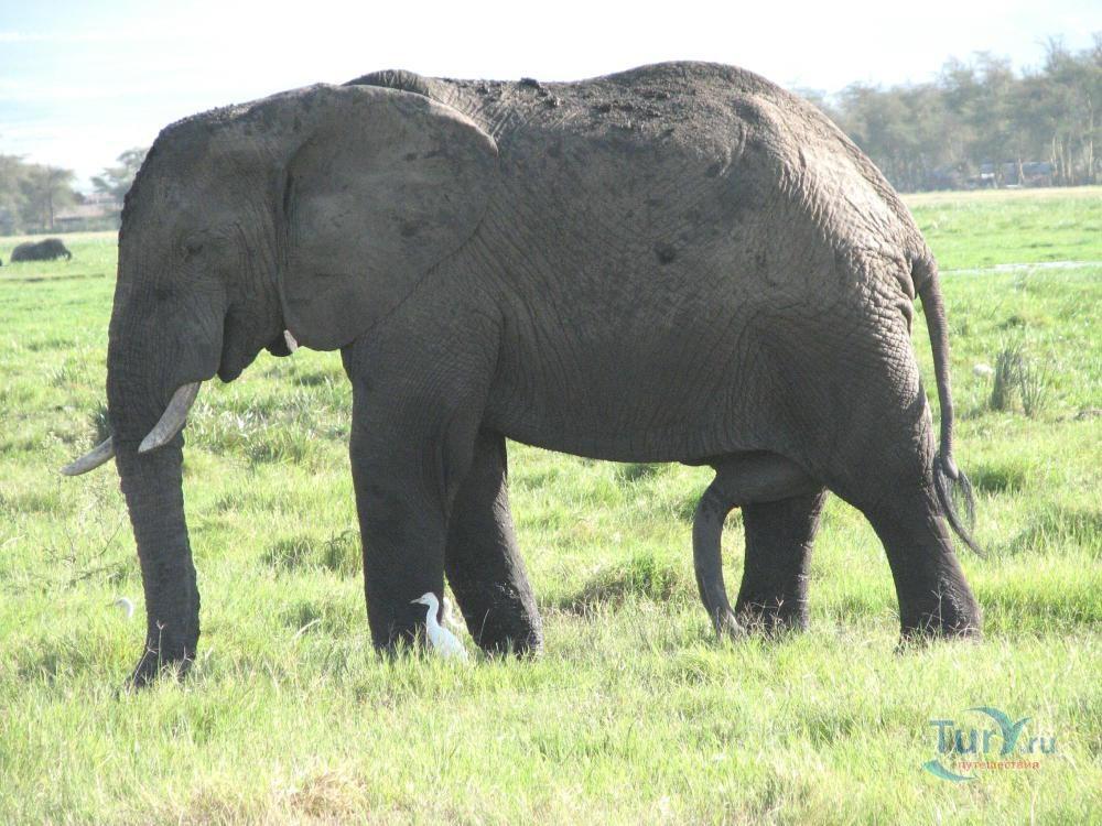 chlen-slona-foto