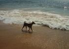 Фото туриста. Гоанские собачки