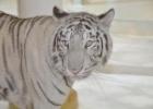 Фото туриста. Фантазия. Все белое. Тигр