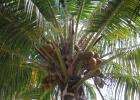 Фото туриста. Как растут кокосы