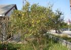 Фото туриста. Лимонное дерево