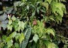 Фото туриста. Оранжерея Облачный лес - плотоядный башмачок-непентес