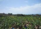 Фото туриста. банановые плантации