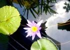 Фото туриста. водные лилии у нашего отеля