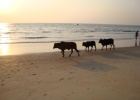 Фото туриста. коровы на пляже Мобор