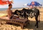 Фото туриста. У соседнего лежака. Русский кормит корову конфетами