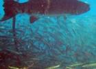 Фото туриста. Баракуда- страж бухты