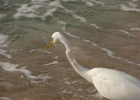 Фото туриста. Белый маленький Цапл (не больше курицы). Султан пляж.