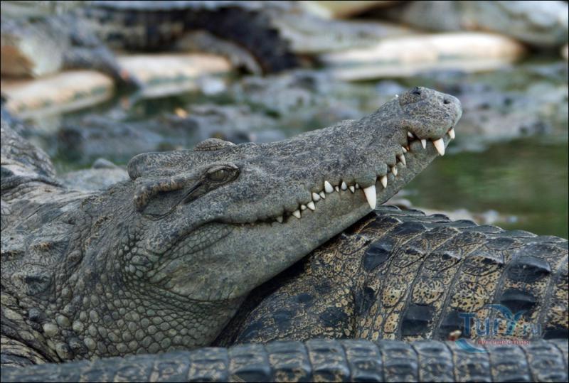 всего картинки крокодилов и змей трансфер можно будет